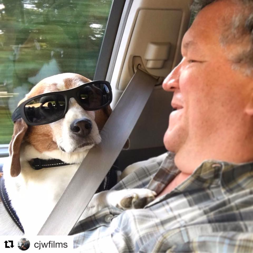 Beagle in the car with sunglasses on